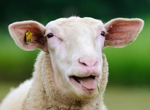 Медицинска практика безумни  с овце- статия от печати Модико България